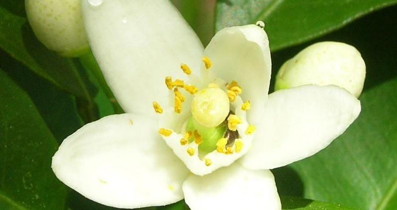 Recettes de grand-mère contre les odeurs de transpiration eau de fleur d'oranger